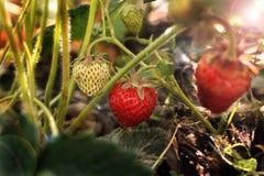 Aardbeien in de tuin Smakelijke bes De struik van de aardbei stock afbeeldingen