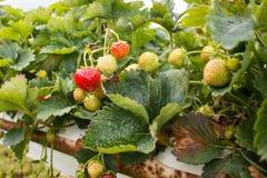 Aardbeien die bij het Parkside-landbouwbedrijf groeien Stock Foto's