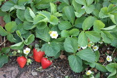 Aardbeien die in de tuin groeien Royalty-vrije Stock Foto's