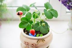 Aardbeien die op de vensterbank groeien Stock Foto
