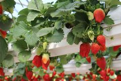 Aardbeien in een serre, het plukken aardbeien, rode en groene achtergrond Stock Afbeeldingen