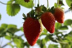Aardbeien in een serre, het plukken aardbeien, rode en groene achtergrond Stock Foto