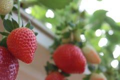 Aardbeien in een serre, het plukken aardbeien, rode en groene achtergrond Stock Afbeelding
