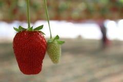 Aardbeien in een serre, het plukken aardbeien, rode en groene achtergrond Royalty-vrije Stock Foto's