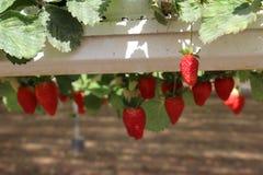 Aardbeien in een serre, het plukken aardbeien, rode en groene achtergrond Royalty-vrije Stock Afbeeldingen