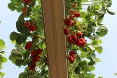 Aardbeien in een serre, het plukken aardbeien, rode en groene achtergrond Royalty-vrije Stock Afbeelding