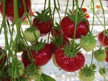 Aardbeien in een serreclose-up Royalty-vrije Stock Fotografie