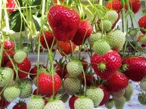 Aardbeien in een serreclose-up Stock Afbeelding