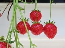 Aardbeien in een serreclose-up NL Stock Afbeeldingen