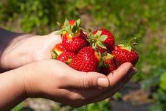 Aardbeien in handen Stock Foto