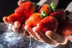Aardbeien in handen die van het waterclose-up toenemen op donkere achtergrond in de stralen van de zon Stock Foto's