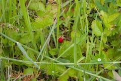 Aardbeien in het gras royalty-vrije stock afbeelding