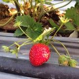 Aardbeien in landbouwbedrijf Stock Foto