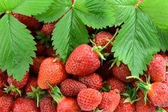 Aardbeien met blad Stock Foto's