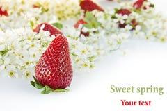 Aardbeien met bloemen van vogelkers op een witte achtergrond Zonnige de lenteachtergrond Geïsoleerde Grens met de exemplaarruimte Stock Afbeeldingen