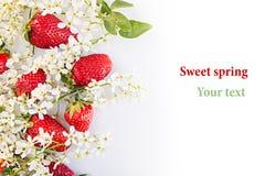 Aardbeien met bloemen van vogelkers op een witte achtergrond Zonnige de lenteachtergrond Geïsoleerde Grens met de exemplaarruimte Stock Afbeelding
