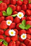 Aardbeien met madeliefjebloemen De achtergrond van het voedsel Royalty-vrije Stock Afbeelding