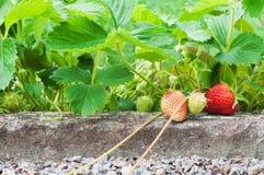 Aardbeien die in de tuin groeien Royalty-vrije Stock Afbeeldingen