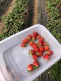 7/5000 Aardbeien na regen worden geoogst die royalty-vrije stock afbeeldingen
