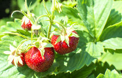 aardbeien op een tak royalty-vrije stock fotografie