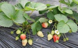 Aardbeien op gebied Stock Foto