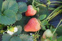 Aardbeien op het gebied Royalty-vrije Stock Afbeeldingen