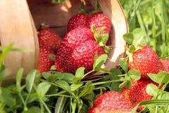 Aardbeien op het gras Stock Fotografie
