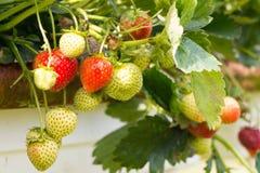 Aardbeien op landbouwbedrijf Royalty-vrije Stock Afbeelding