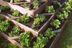 Aardbeien in opgeheven tuinbed Piramide opgeheven tuin Royalty-vrije Stock Foto