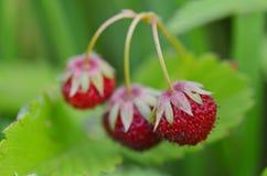 Aardbeien, rijpe bessen Stock Foto
