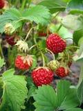 Aardbeien tegen groene bladeren Royalty-vrije Stock Afbeeldingen