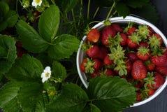 Aardbeien u-oogst-Em Stock Afbeeldingen