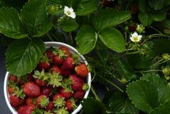 Aardbeien u-oogst-Em Royalty-vrije Stock Fotografie