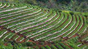 Aardbeienlandbouwbedrijf in het noorden van Thailand stock afbeelding