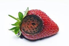 Aardbeifruit door anthracnose Colletotrichum fragariae wordt beïnvloed die royalty-vrije stock afbeeldingen