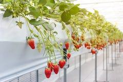 Aardbeifruit in kinderdagverblijfaanplanting in Japan Stock Afbeeldingen
