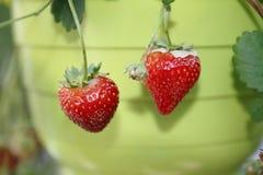 Aardbeifruit, rood en firma, van het hangen van mand vers wordt geoogst die royalty-vrije stock afbeeldingen