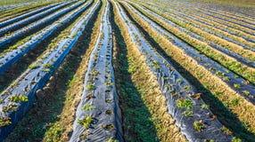 Aardbeigebied in de Donau-Vlakte in de herfst Royalty-vrije Stock Foto