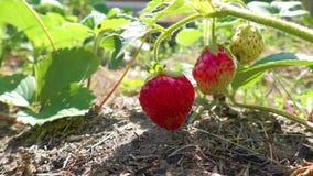 Aardbeiinstallatie het groeien in de tuin stock videobeelden