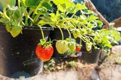 Aardbeiinstallatie Sluit omhoog aardbeiinstallatie in landbouwbedrijf Strawberrie Stock Foto