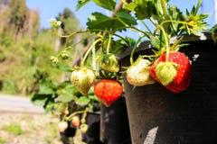 Aardbeiinstallatie Sluit omhoog aardbeiinstallatie in landbouwbedrijf Strawberrie Stock Afbeeldingen