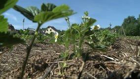 Aardbeiinstallaties die in landbouwbedrijftuin groeien in de lente stock videobeelden