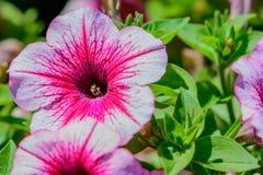 Aardbeipetunia met greebladeren op achtergrond royalty-vrije stock fotografie