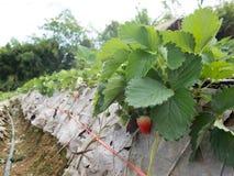 Aardbeistruik het groeien in de tuin Stock Afbeeldingen