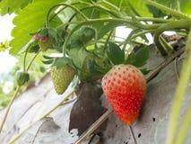 Aardbeistruik het groeien in de tuin Stock Foto's