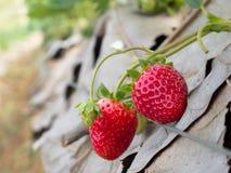 Aardbeistruik het groeien in de tuin Royalty-vrije Stock Fotografie