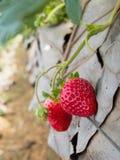Aardbeistruik het groeien in de tuin Royalty-vrije Stock Afbeeldingen