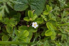 Aardbeistruik met witte bloem, Altai, Rusland royalty-vrije stock foto's