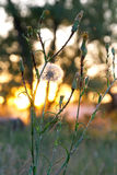 Aardbloemen, zonsondergang Royalty-vrije Stock Afbeelding