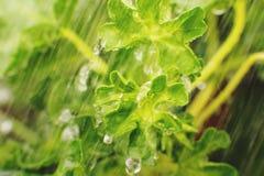 aarddetail De groene achtergrond van de bladtextuur, Groene bladeren onder de waterstroom Groen concept Sluit omhoog stock afbeelding
